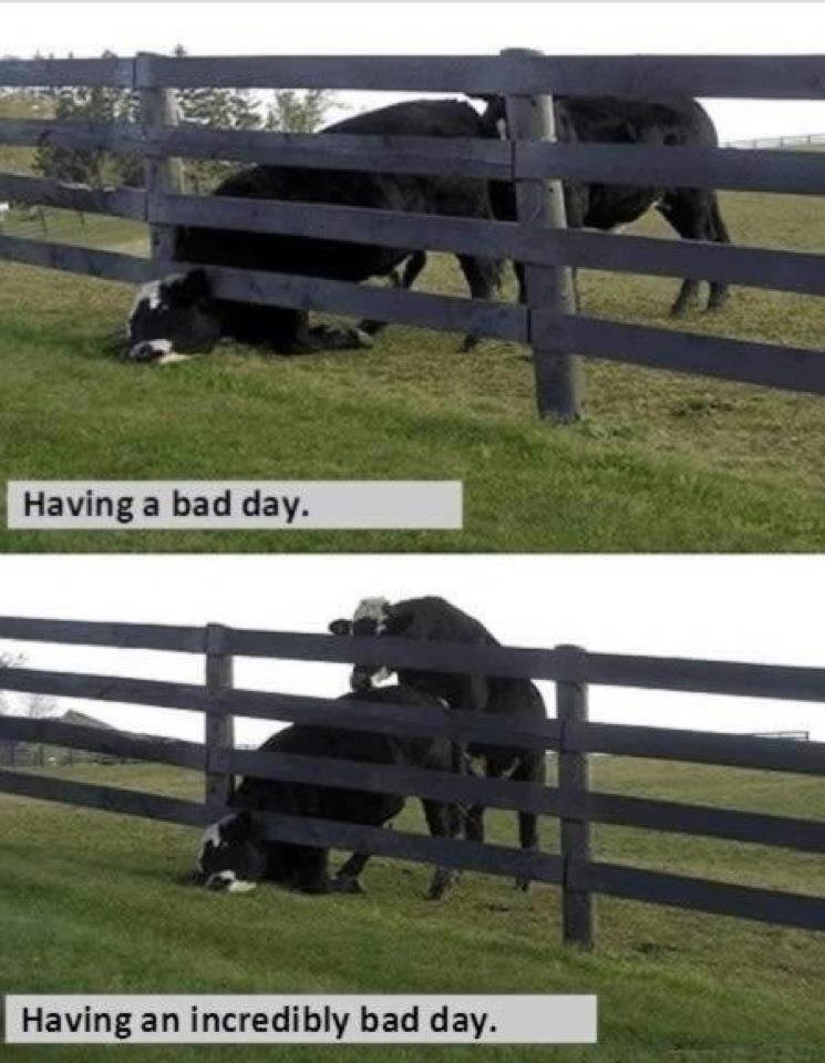 Bad Day Cow